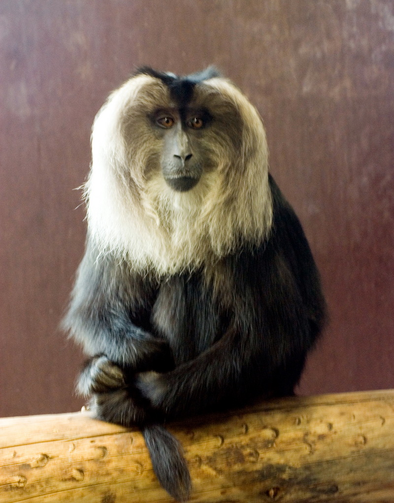 Lion-tailed Macaque (Macaca silenus) - Wiki; DISPLAY FULL IMAGE.