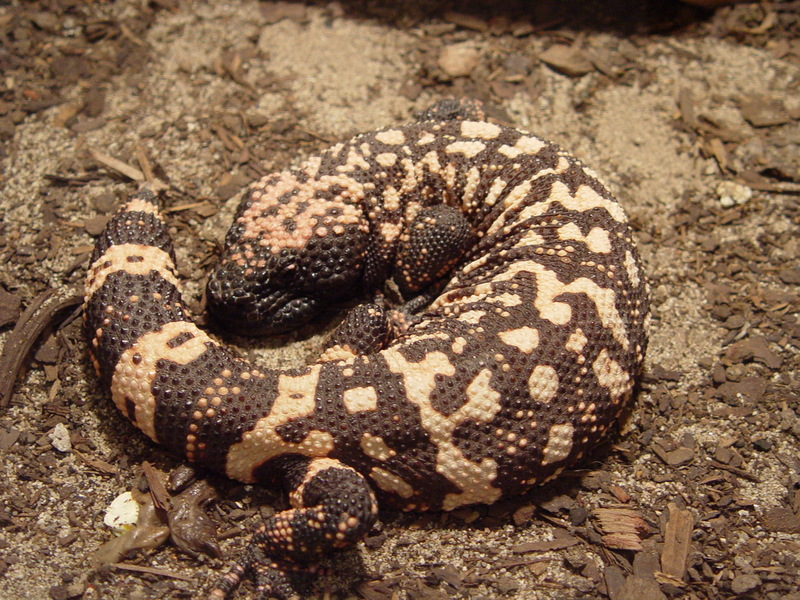 Gila Monster (Heloderma suspectum) - Wiki; DISPLAY FULL IMAGE.