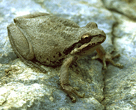 Pacific Tree Frog (Pseudacris regilla) - Wiki; Image ONLY