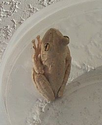 Cuban Tree Frog (Osteopilus septentrionalis) - Wiki; Image ONLY