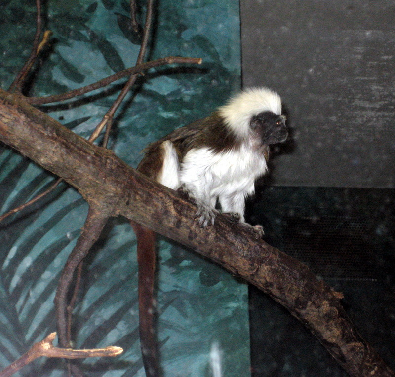 Tamarin (Family: Cebidae, Genus: Saguinus) - Wiki; DISPLAY FULL IMAGE.