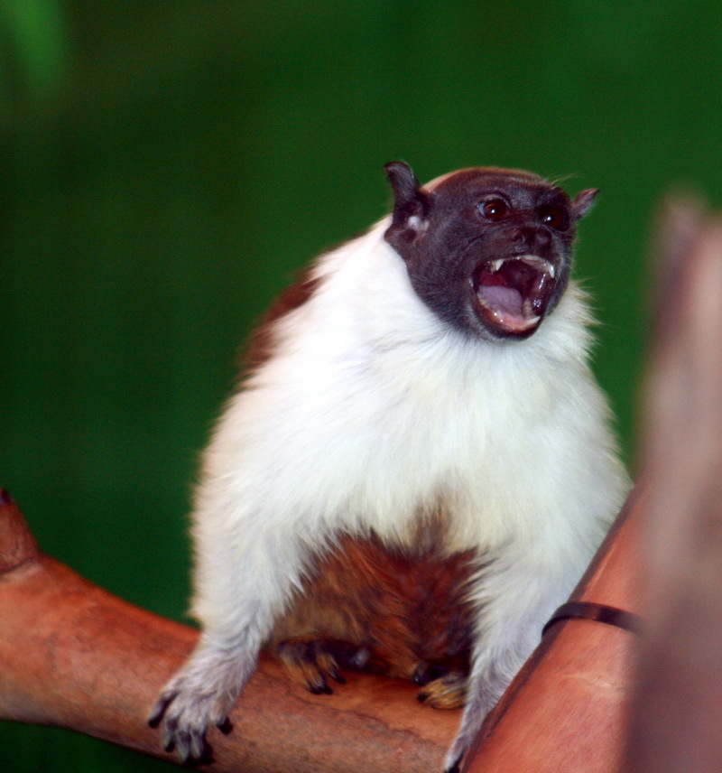 Pied Tamarin (Saguinus bicolor) - Wiki; DISPLAY FULL IMAGE.