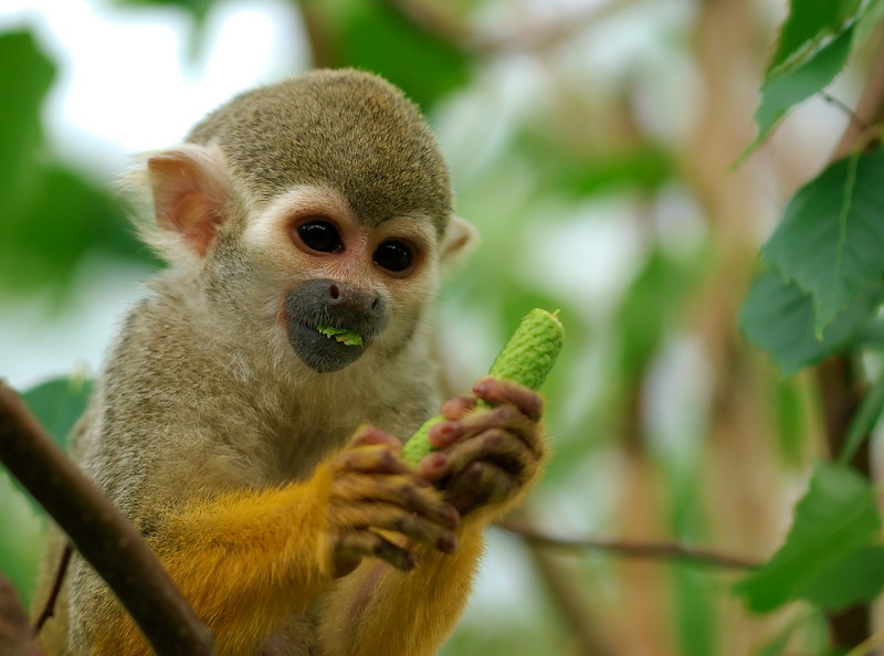 Squirrel Monkey (Family: Cebidae, Genus: Saimiri) - Wiki; DISPLAY FULL IMAGE.
