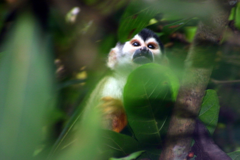 Central American Squirrel Monkey (Saimiri oerstedii) - Wiki; DISPLAY FULL IMAGE.