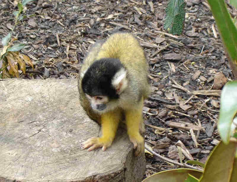 Black-capped Squirrel Monkey (Saimiri boliviensis) - Wiki; DISPLAY FULL IMAGE.
