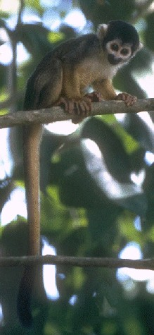Black Squirrel Monkey (Saimiri vanzolinii) - Wiki; Image ONLY
