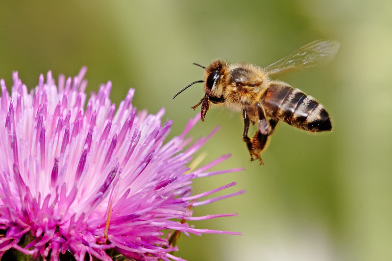 Western Honey Bee (Apis mellifera) - Wiki; DISPLAY FULL IMAGE.