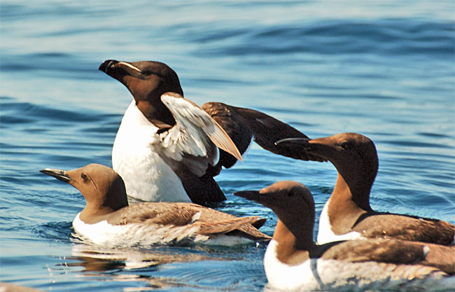 Razorbill (Alca torda) with Common Guillemots; Image ONLY