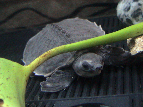 Pig-nosed Turtle (Carettochelys insculpta) - Wiki; Image ONLY