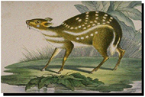 Water Chevrotain (Hyemoschus aquaticus) - Wiki; Image ONLY