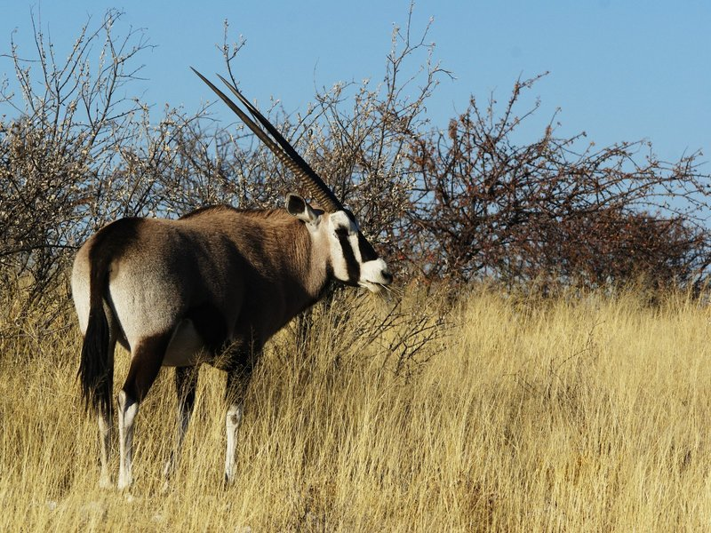 Gemsbok (Oryx gazella) - Wiki; DISPLAY FULL IMAGE.