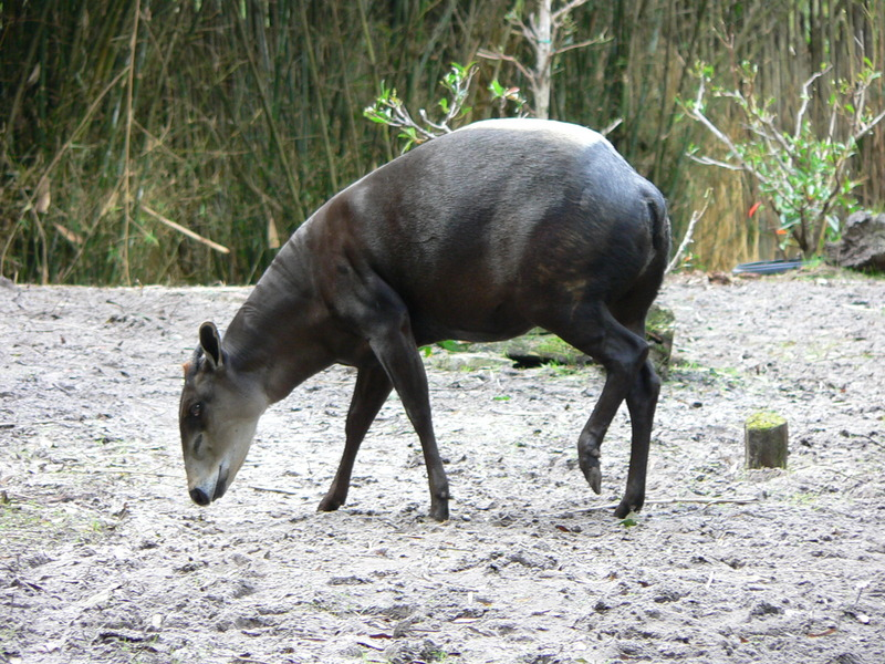 Yellow-backed Duiker (Cephalophus silvicultor) - Wiki; DISPLAY FULL IMAGE.