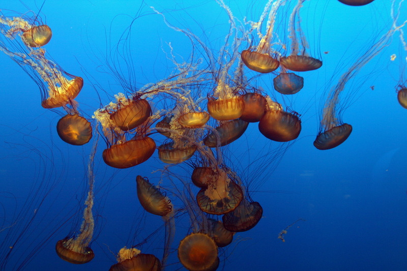 Sea Nettle Jellyfish (Chrysaora quinquecirrha) - Wiki; DISPLAY FULL IMAGE.