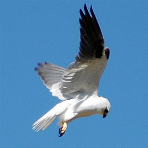 Black-shouldered Kite (Elanus axillaris) - Wiki; Image ONLY