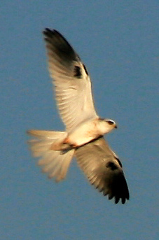 White-tailed Kite (Elanus leucurus) - Wiki; Image ONLY