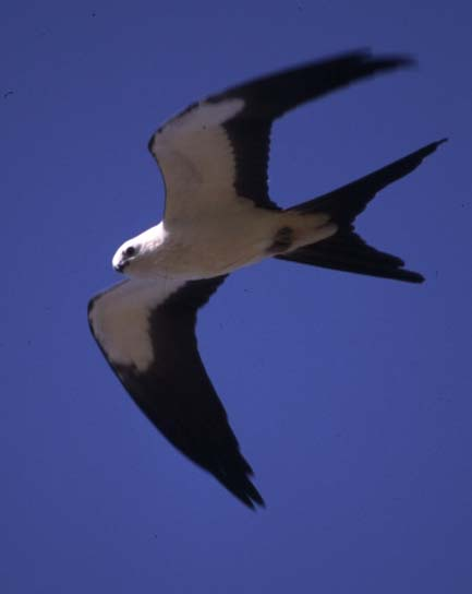 Swallow-tailed Kite (Elanoides forficatus) - Wiki; Image ONLY