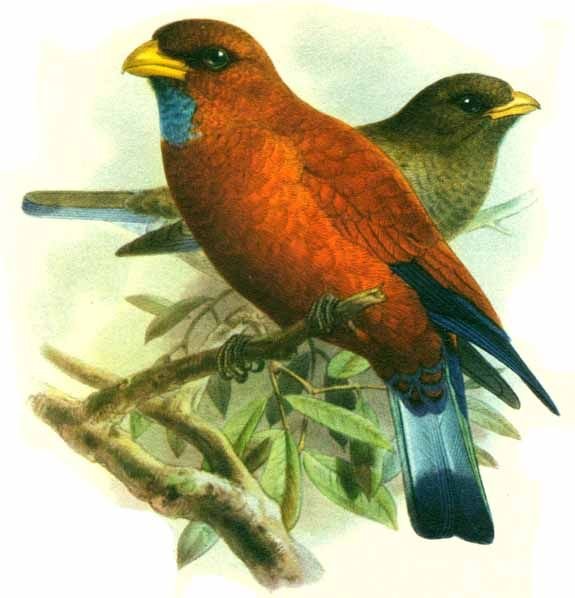 Blue-throated Roller (Eurystomus gularis) - Wiki; Image ONLY
