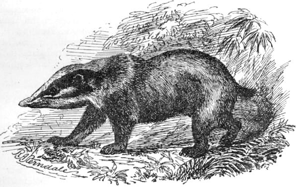Hog Badger (Arctonyx collaris) - Wiki; Image ONLY