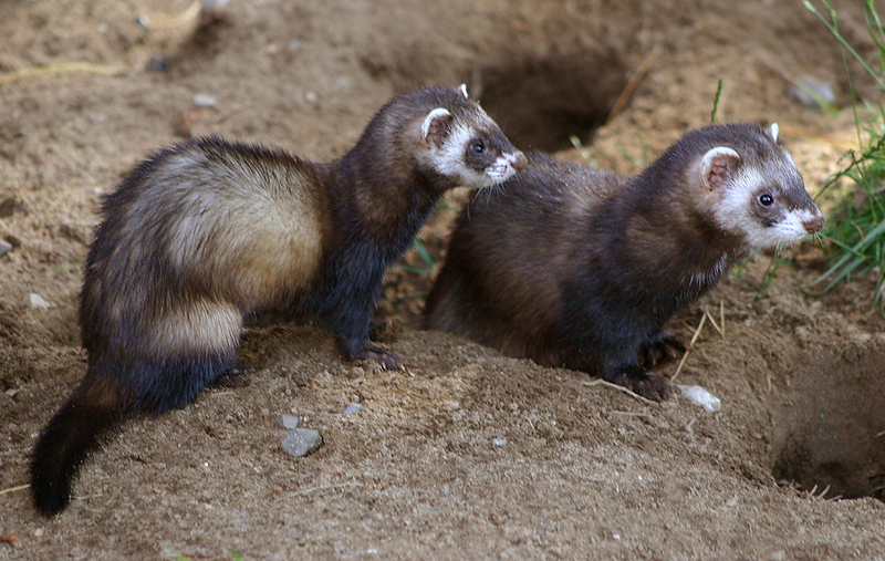 European Polecat (Mustela putorius) - Wiki; DISPLAY FULL IMAGE.