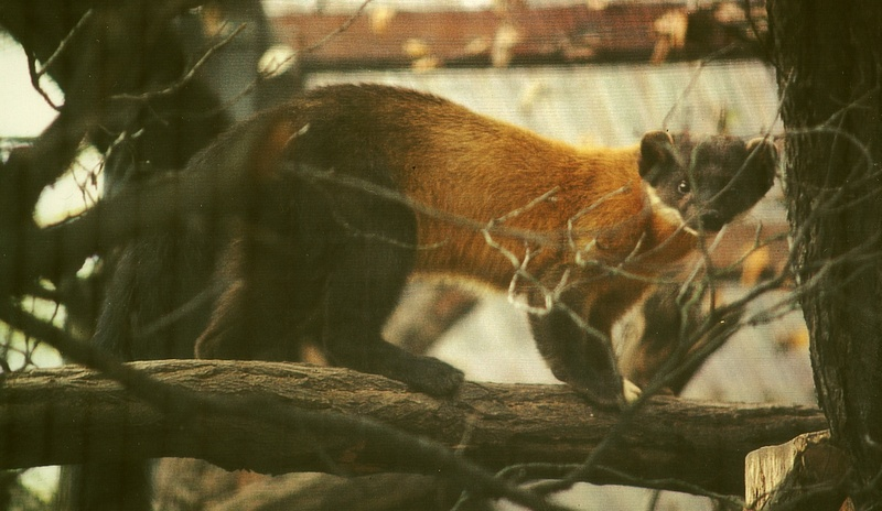 Yellow-throated Marten (Martes flavigula) - Wiki; DISPLAY FULL IMAGE.