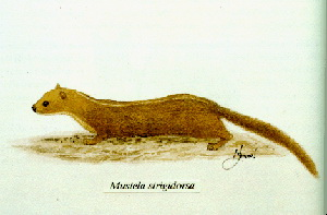 Black-striped Weasel (Mustela strigidorsa) - Wiki; Image ONLY