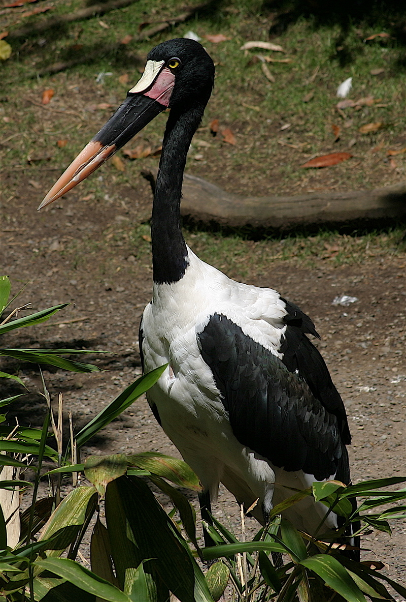 Saddle-billed Stork (Ephippiorhynchus senegalensis) - Wiki; DISPLAY FULL IMAGE.