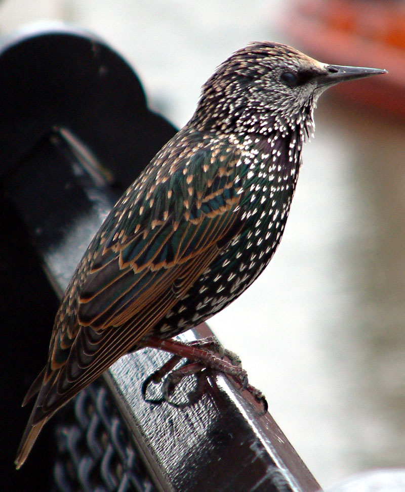 Starling (Family: Sturnidae) - Wiki; Image ONLY