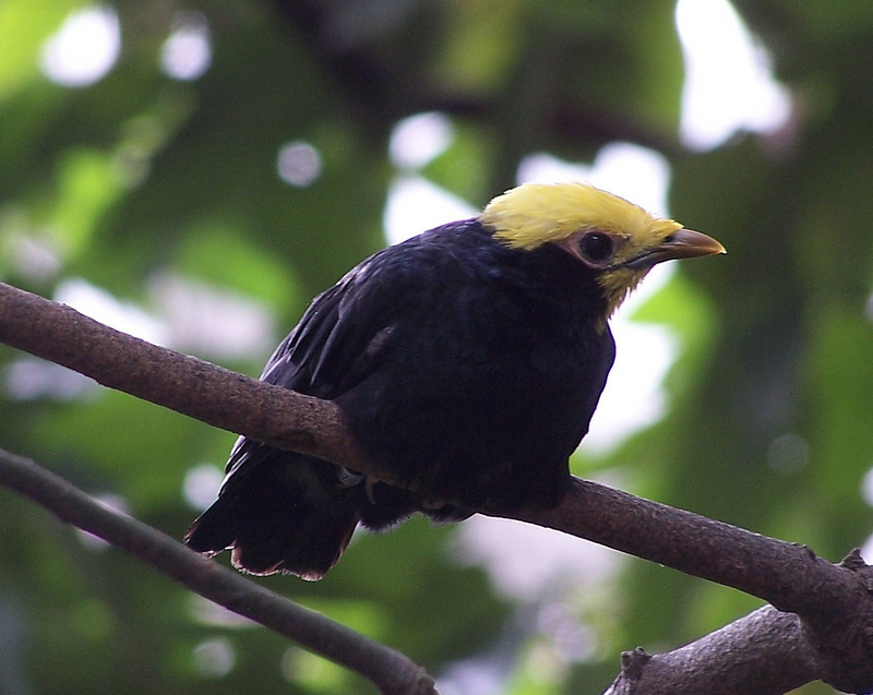 Golden-crested Myna (Ampeliceps coronatus) - Wiki; DISPLAY FULL IMAGE.
