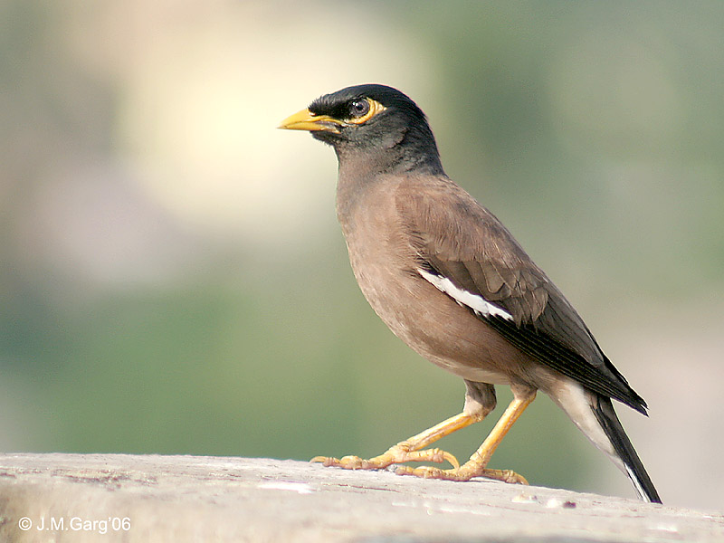 Common Myna (Acridotheres tristis), India; Image ONLY