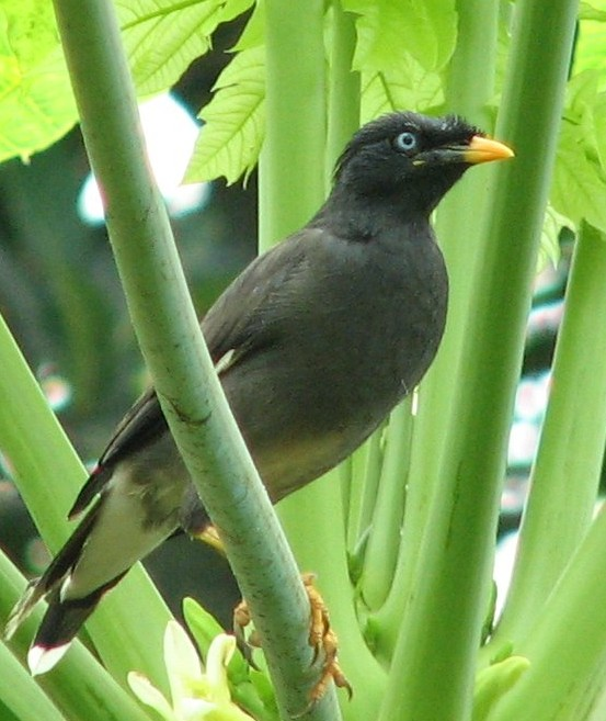 Myna (Genus: Acridotheres) - Wiki; Image ONLY