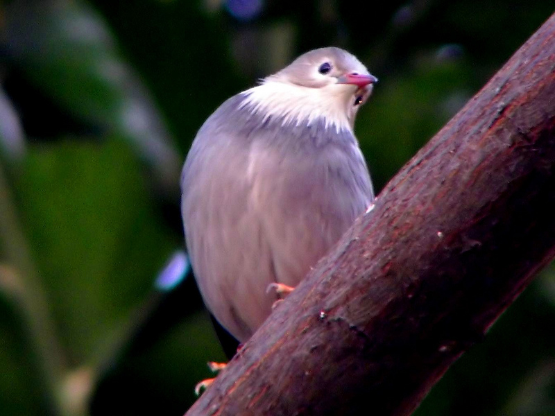 Red-billed Starling (Sturnus sericeus) - Wiki; DISPLAY FULL IMAGE.