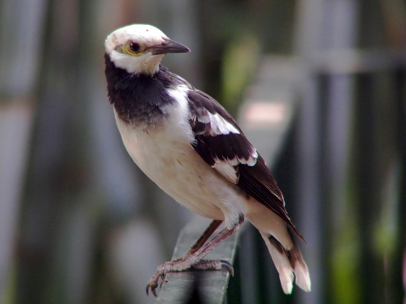 Black-collared Starling (Sturnus nigricollis) - Wiki; DISPLAY FULL IMAGE.