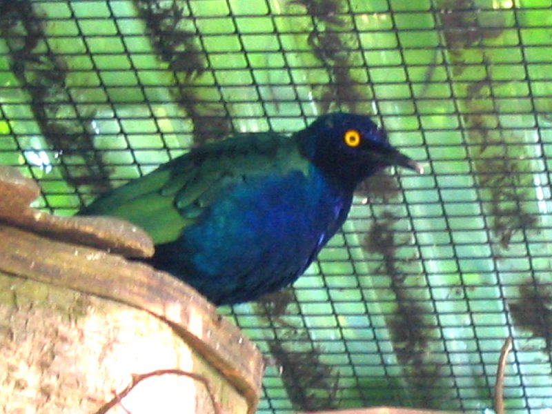 Purple Glossy-starling (Lamprotornis purpureus) - Wiki; Image ONLY