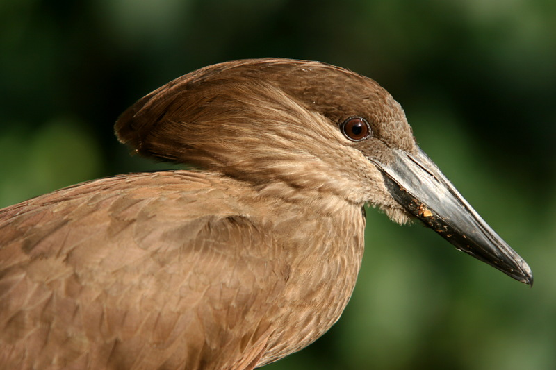 Hammerkop (Scopus umbretta) - Wiki; DISPLAY FULL IMAGE.