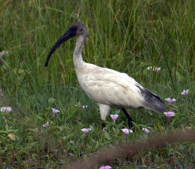 Black-headed Ibis (Threskiornis melanocephalus) - Wiki; Image ONLY