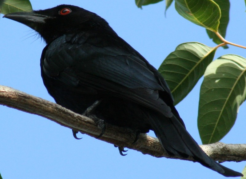 Spangled Drongo (Dicrurus bracteatus) - Wiki; DISPLAY FULL IMAGE.