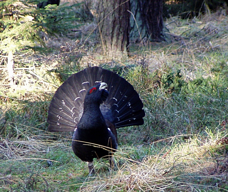 Western Capercaillie, Wood Grouse (Tetrao urogallus) - Wiki; DISPLAY FULL IMAGE.
