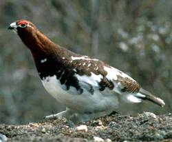 Willow Grouse (Lagopus lagopus) - Wiki; Image ONLY
