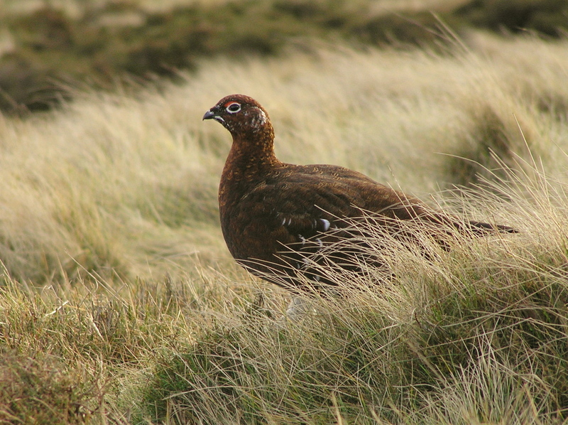 Red Grouse (Lagopus lagopus scoticus) - Wiki; DISPLAY FULL IMAGE.