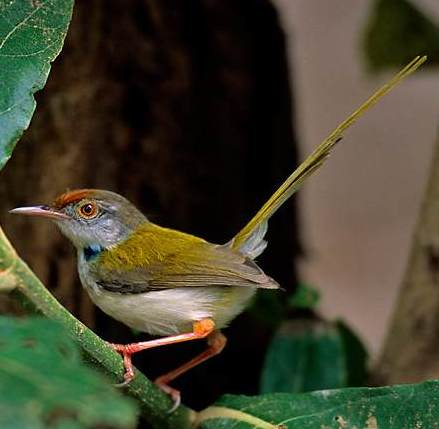 Common Tailorbird (Orthotomus sutorius) - Wiki; Image ONLY