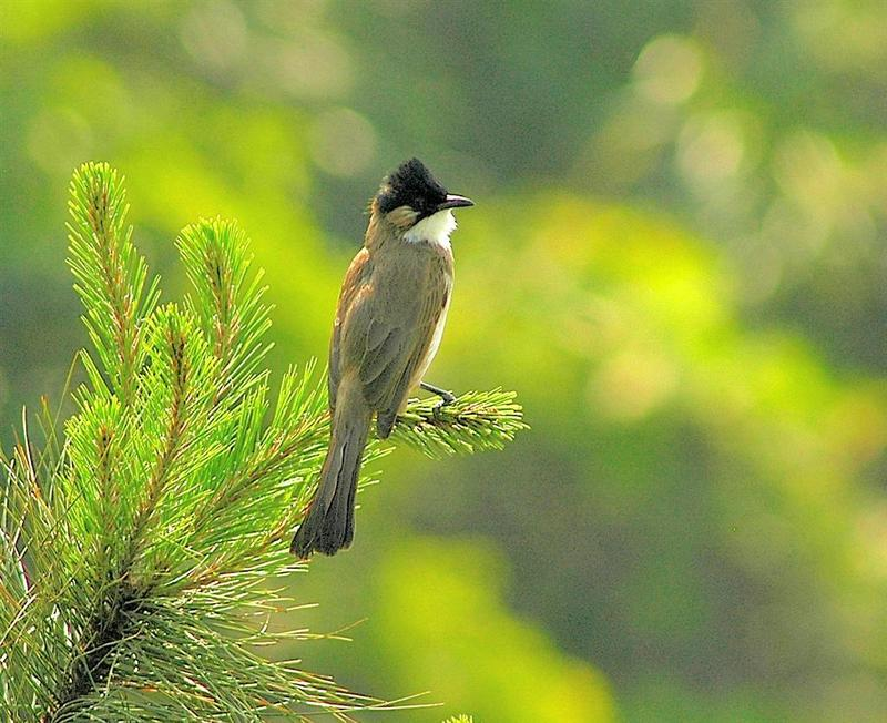 Brown-breasted Bulbul (Pycnonotus xanthorrhous) - Wiki; DISPLAY FULL IMAGE.