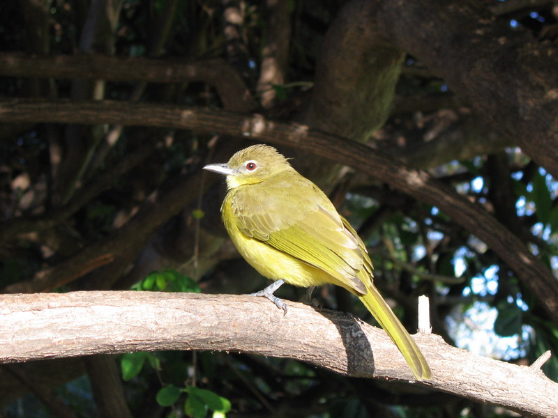 Yellow-bellied Greenbul (Chlorocichla flaviventris) - Wiki; Image ONLY