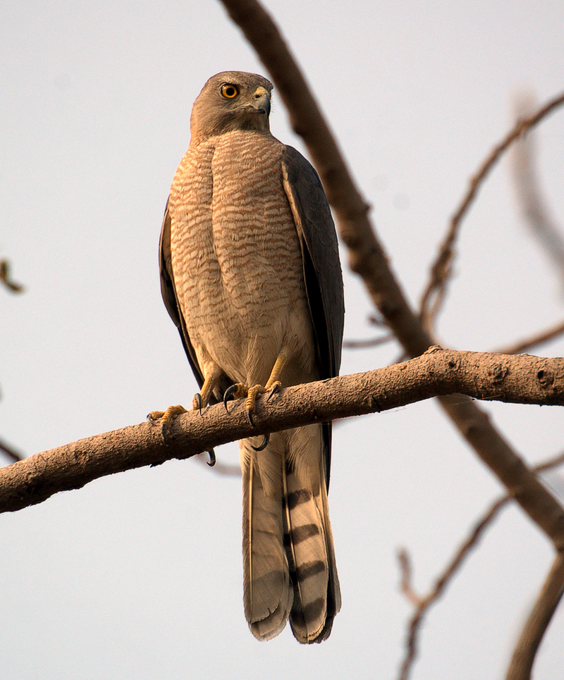 Shikra Hawk (Accipiter badius) - Wiki; DISPLAY FULL IMAGE.
