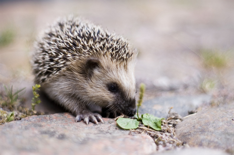 Hedgehog (Subfamily: Erinaceinae) - Wiki; DISPLAY FULL IMAGE.