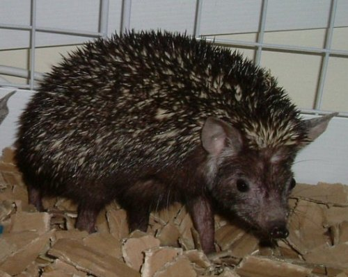 Indian Long-eared Hedgehog (Hemiechinus collaris) - Wiki; Image ONLY