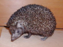 Indian Hedgehog (Paraechinus micropus) - Wiki; Image ONLY
