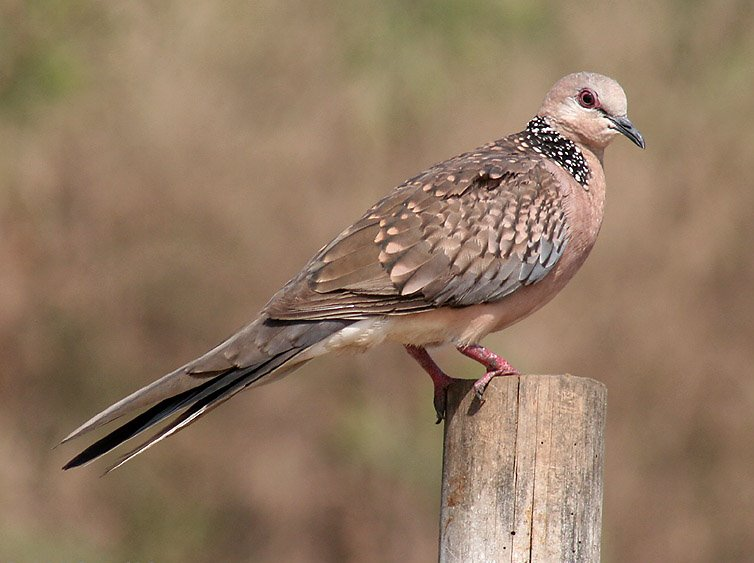 Spotted Dove (Streptopelia chinensis) - Wiki; Image ONLY