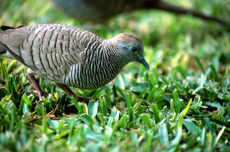 Peaceful Dove, Zebra Dove (Geopelia striata) - Wiki; DISPLAY FULL IMAGE.