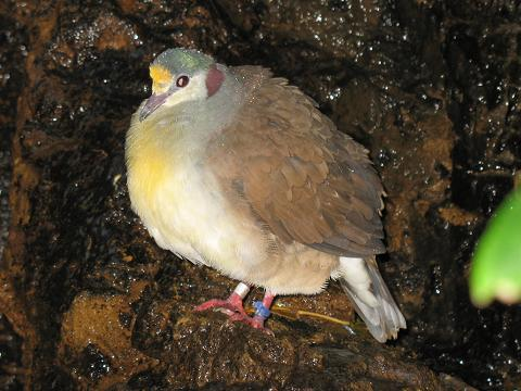 Sulawesi Ground-dove (Gallicolumba tristigmata) - Wiki; Image ONLY