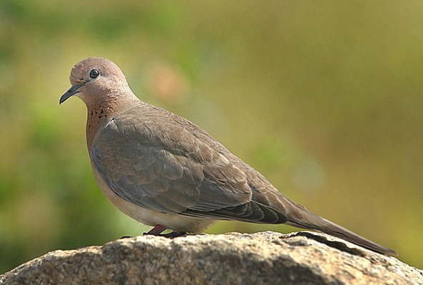 Laughing Dove, Senegal Dove (Streptopelia senegalensis) - Wiki; Image ONLY
